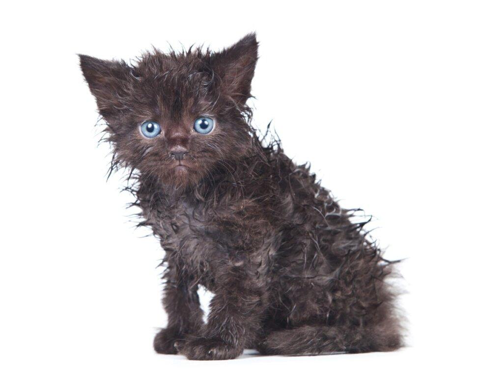 Il gatto non si lava più da solo: perché?