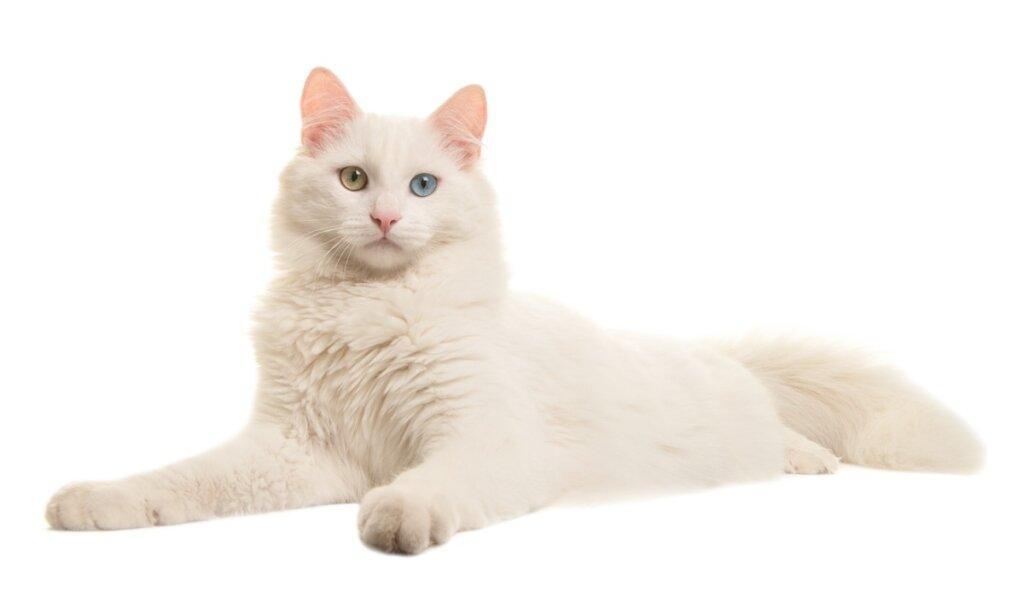Come prendersi cura di un gatto albino