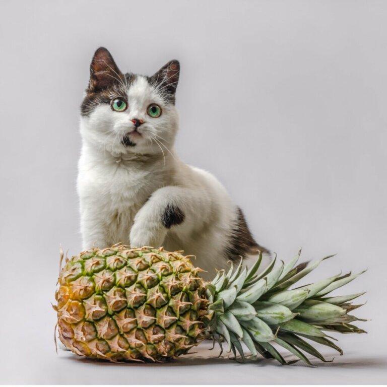 I gatti possono mangiare l'ananas?
