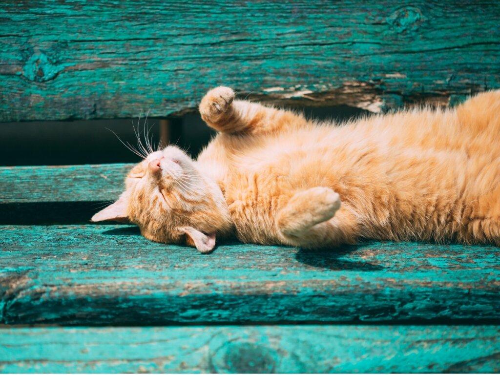 Come sapere se un gatto ha caldo?