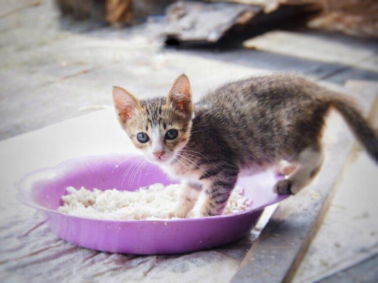 Dieta morbida per i gatti che soffrono di diarrea