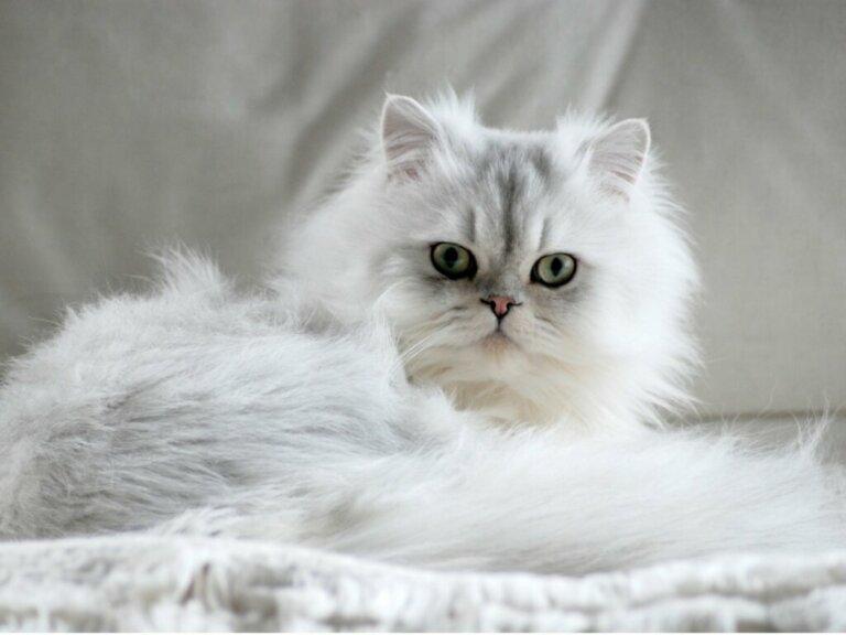 7 tipi di gatto persiano