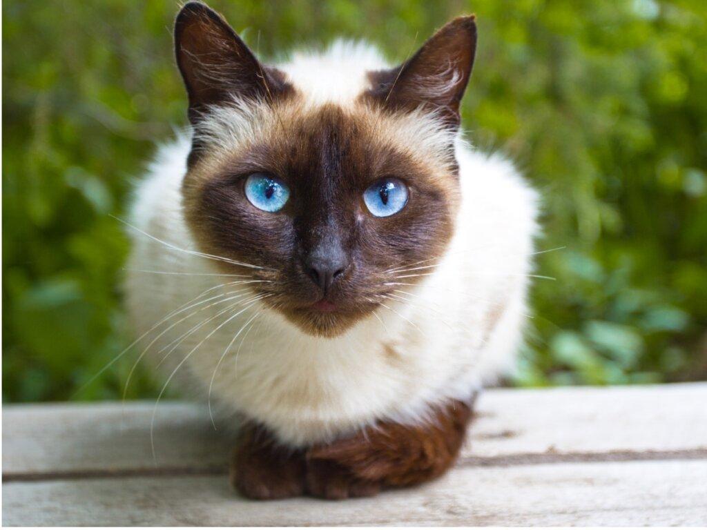 Prendersi cura di un gatto siamese