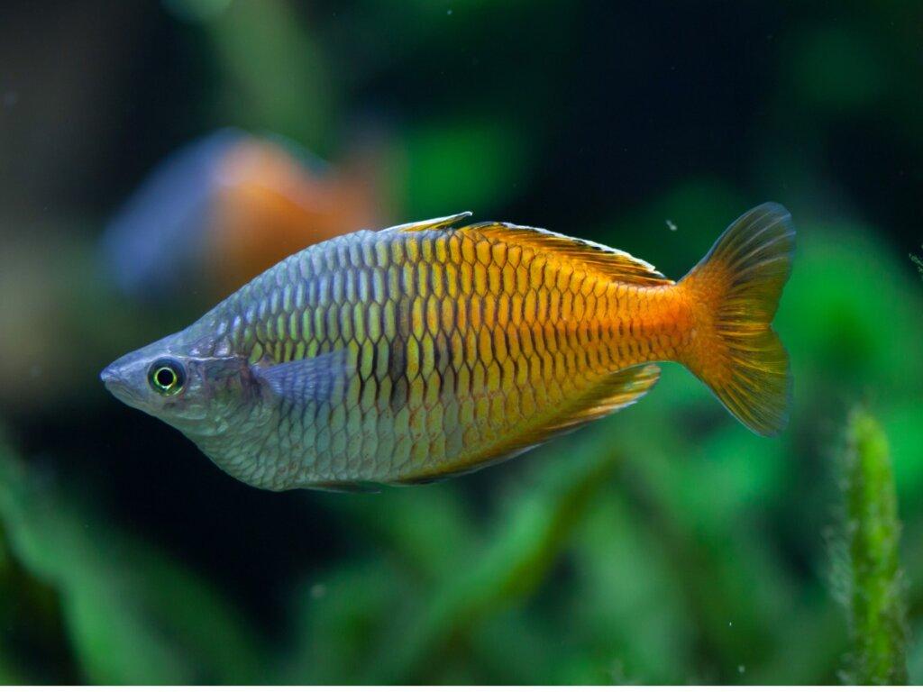Pesce arcobaleno di Boeseman: caratteristiche e cure