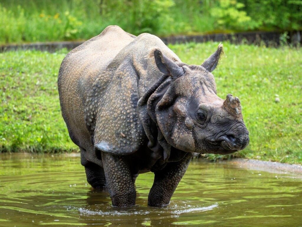 Rinoceronte indiano: habitat e caratteristiche