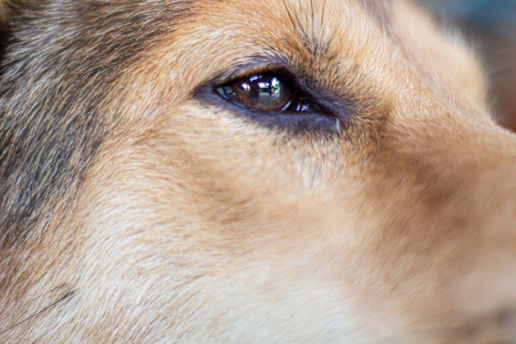 Sindrome di Horner nei cani: sintomi, diagnosi e prevenzione