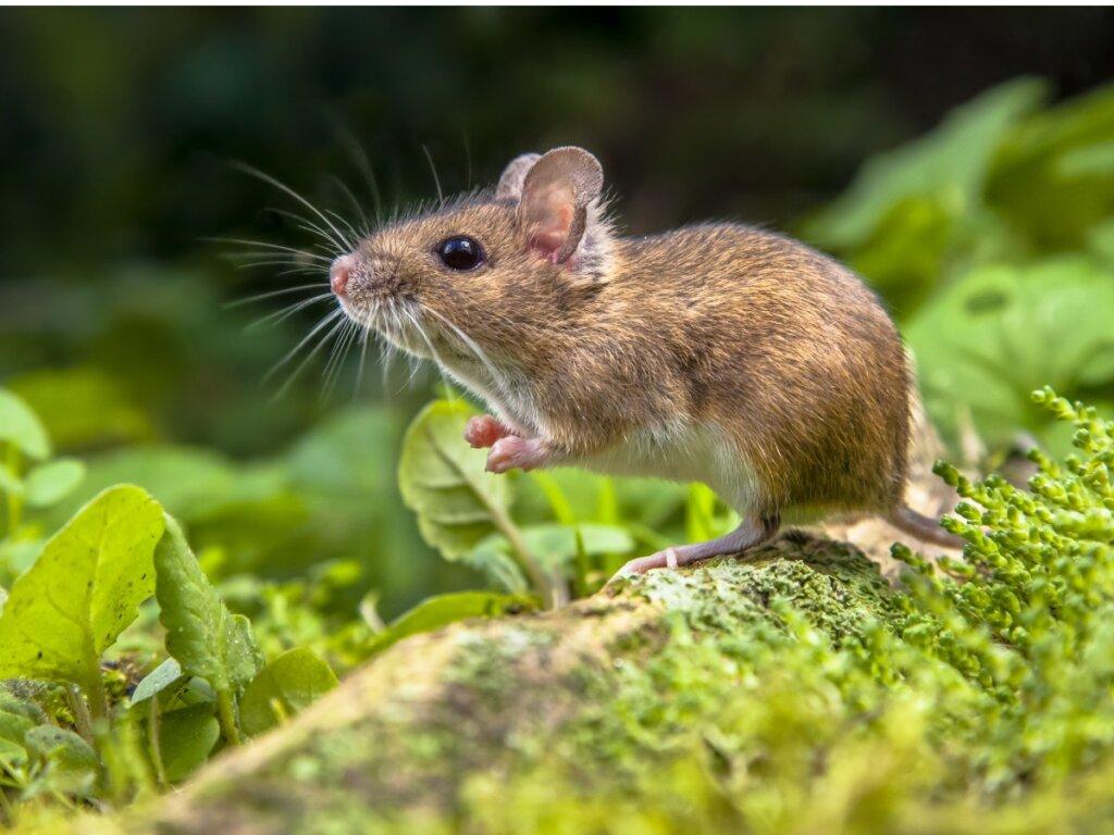 Differenze tra ratto e topo