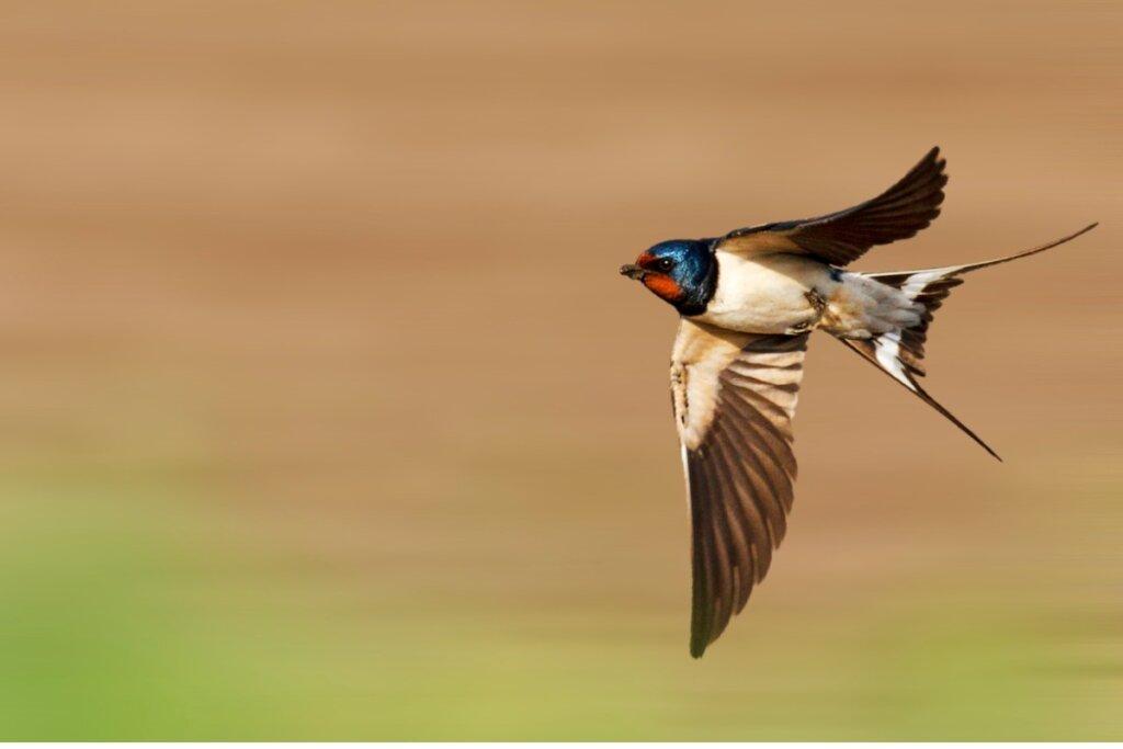 Tutti i tipi di rondini, gli uccelli simbolo della primavera
