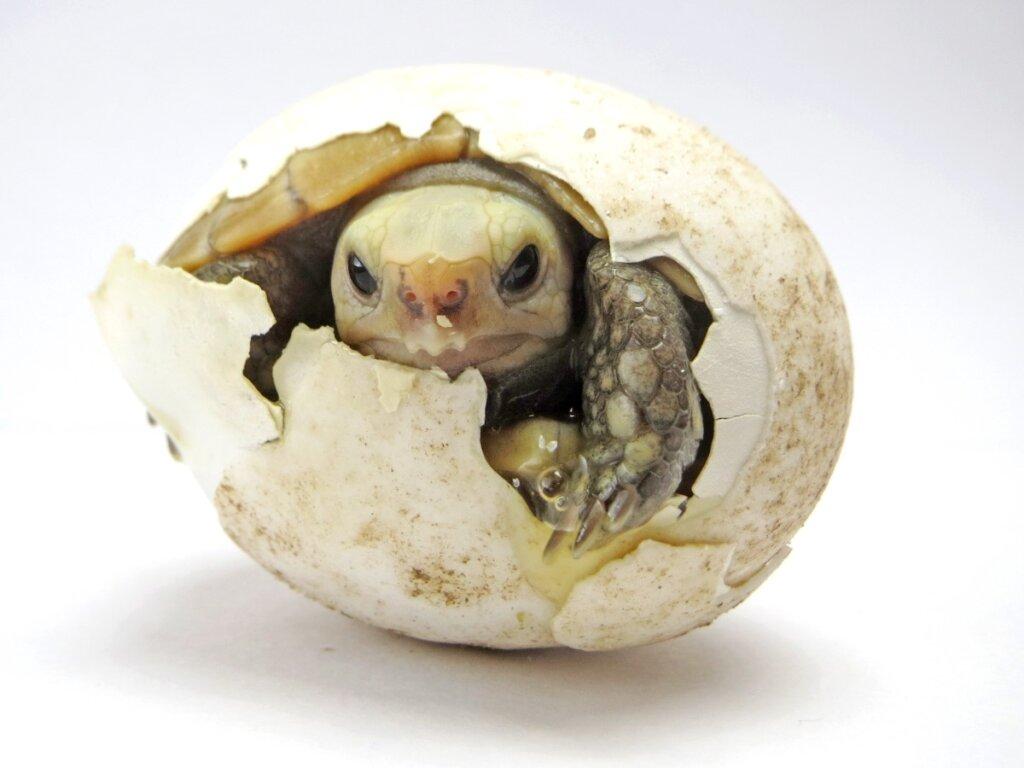 Come far schiudere le uova di tartaruga