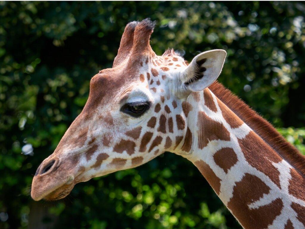 Giraffa somala: habitat e caratteristiche
