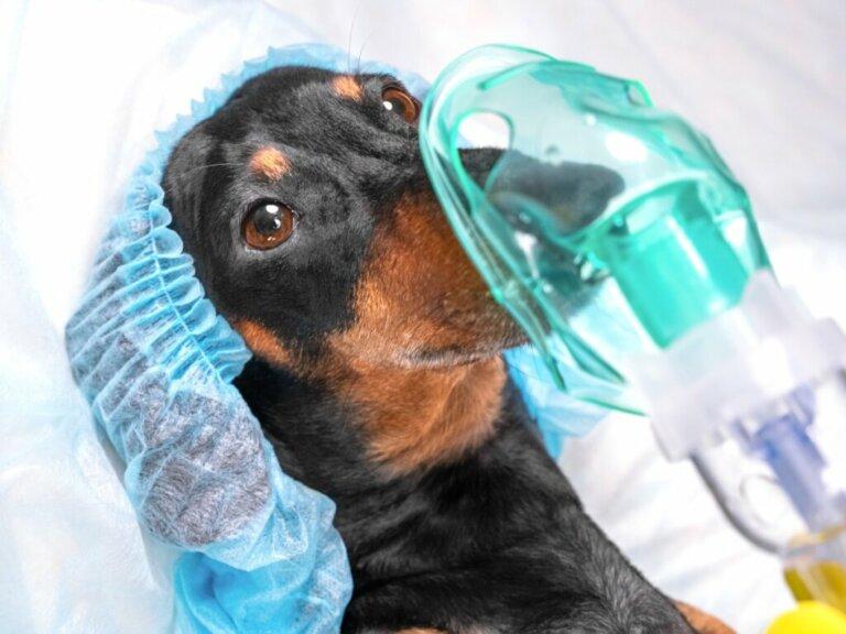 Pneumotorace nei cani: caratteristiche e trattamento