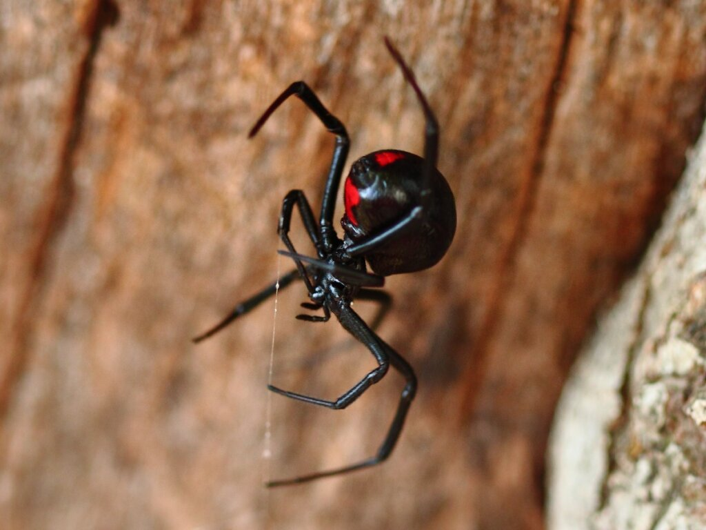 12 tipi di ragni velenosi