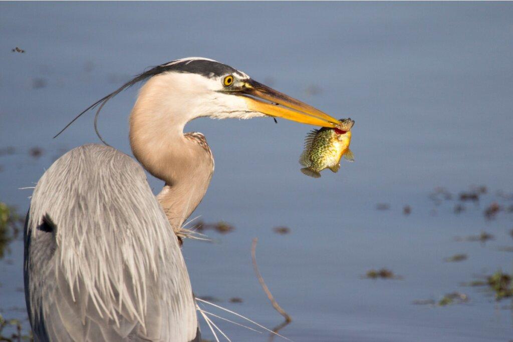 I pesci potrebbero usare gli uccelli per colonizzare nuovi posti, lo dimostrano gli studi