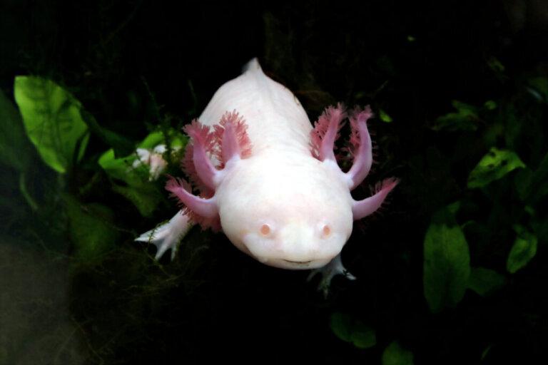 Cosa mangia l'axolotl?