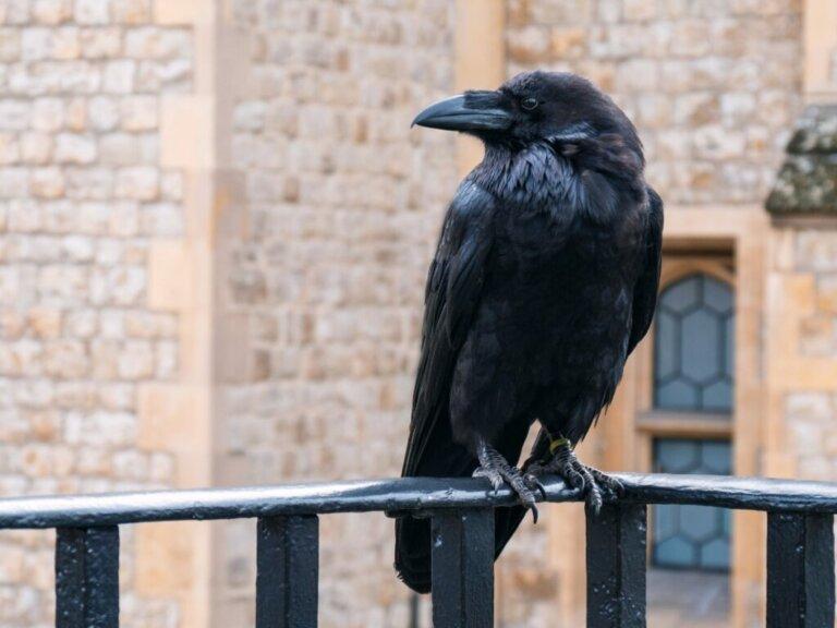 Perché i corvi gracchiano?
