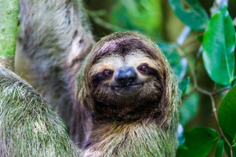 Perché i bradipi sono così lenti?