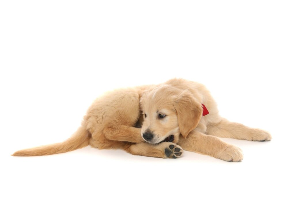 Perché il cane si morde la zampa?