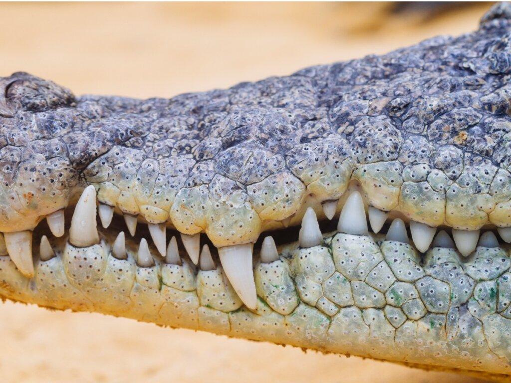 Quanti denti ha un coccodrillo?