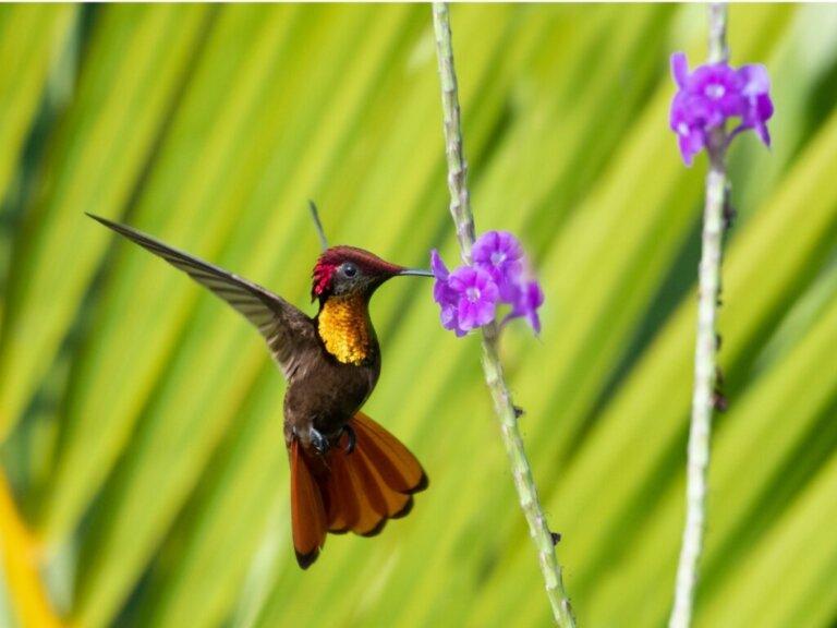 Il ciclo di vita del colibrì