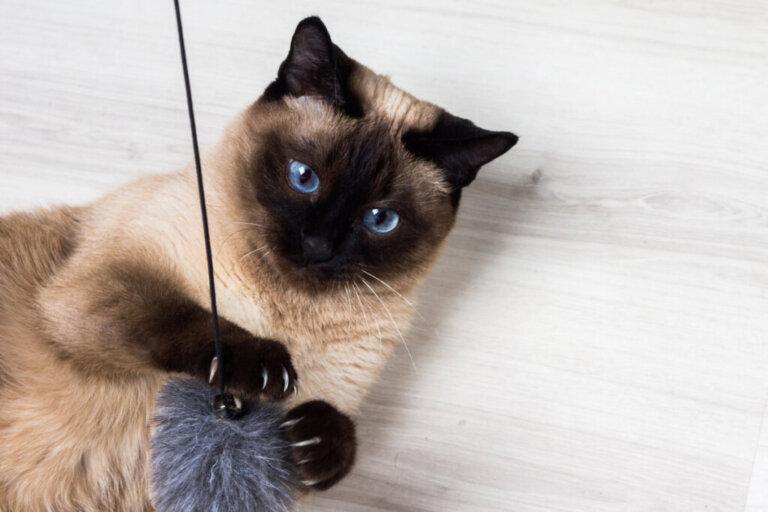 Le 10 razze di gatti più delicate