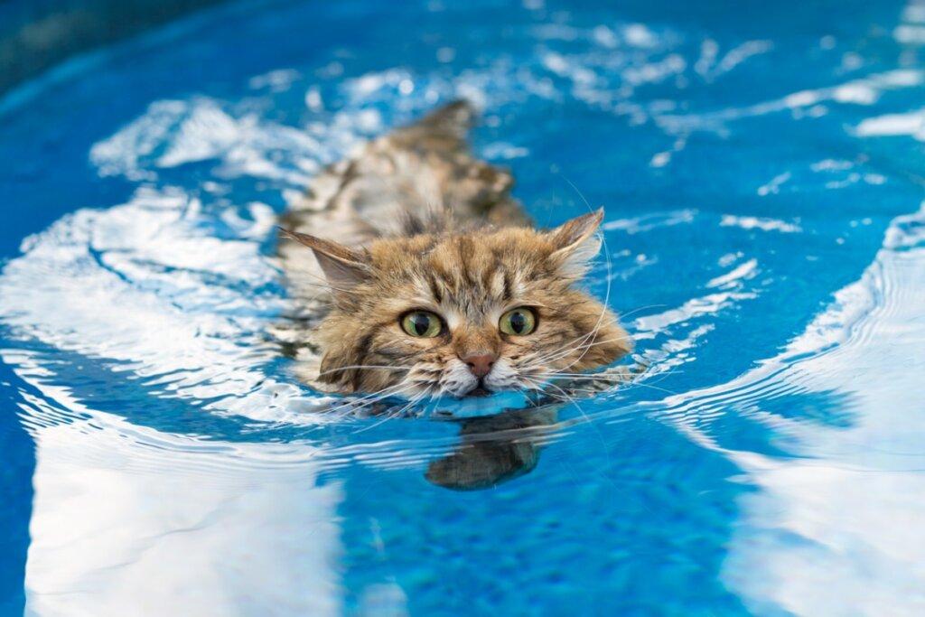 6 razze di gatti che amano l'acqua