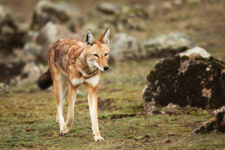 Lupo etiope: habitat e caratteristiche
