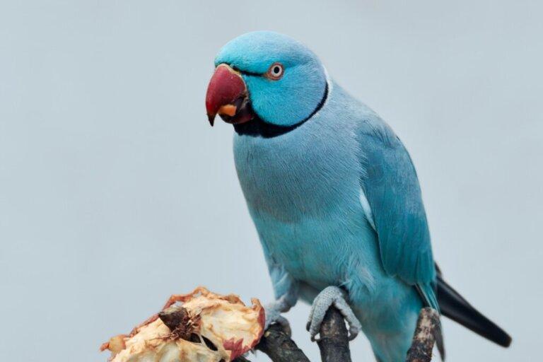 I pappagalli possono mangiare la carne?