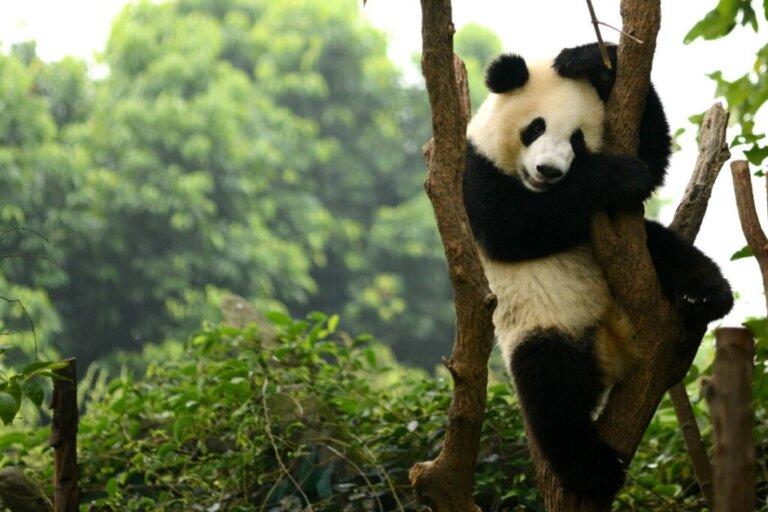 Panda giganti della Cina, una specie non più a rischio di estinzione