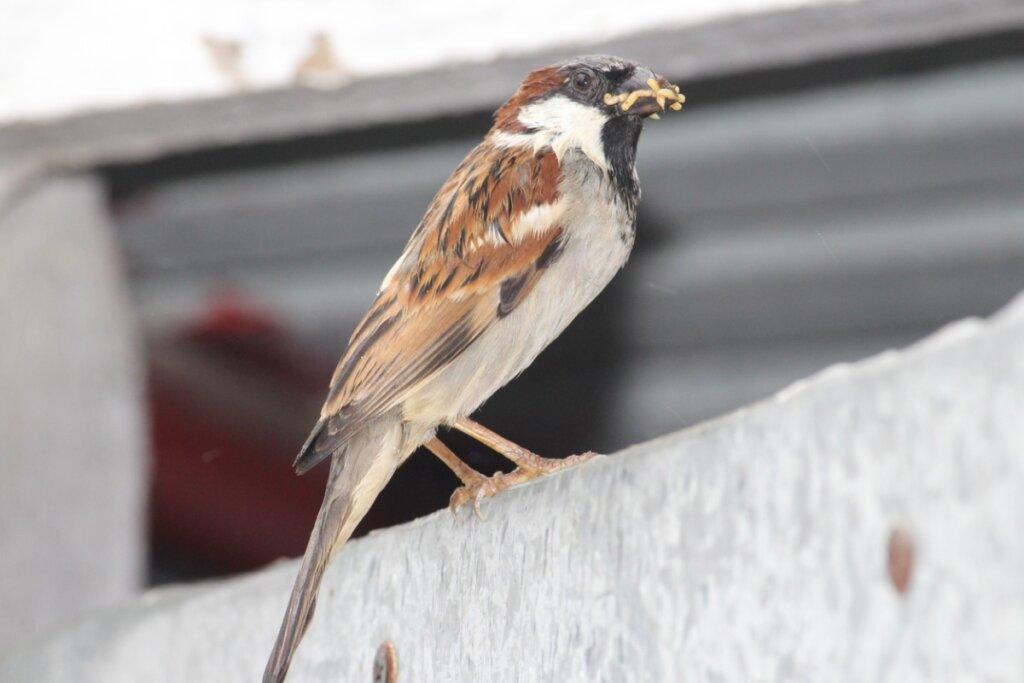 Gli uccelli possono mangiare il riso?