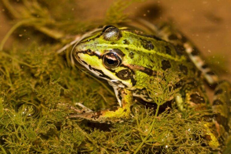 Le rane possono respirare sott'acqua?