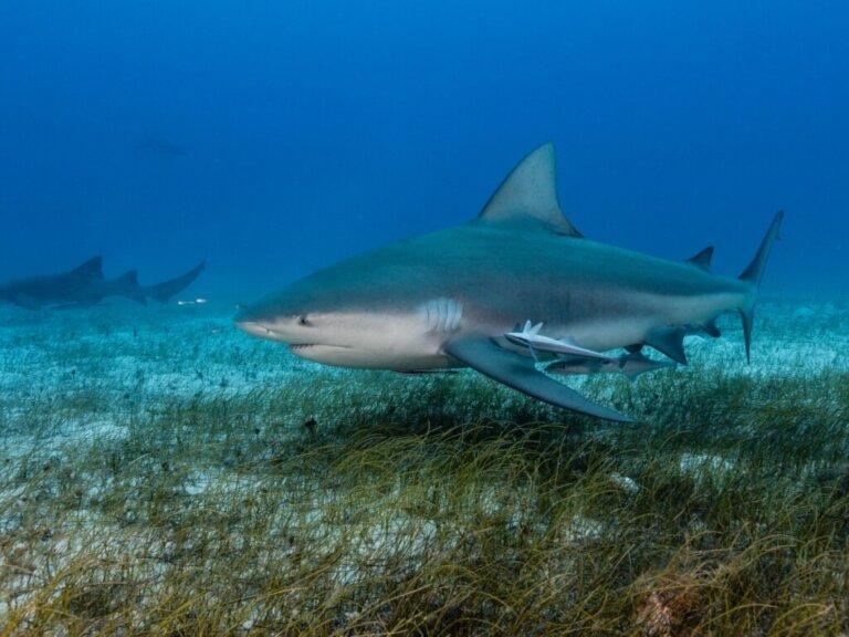 Come nascono gli squali?