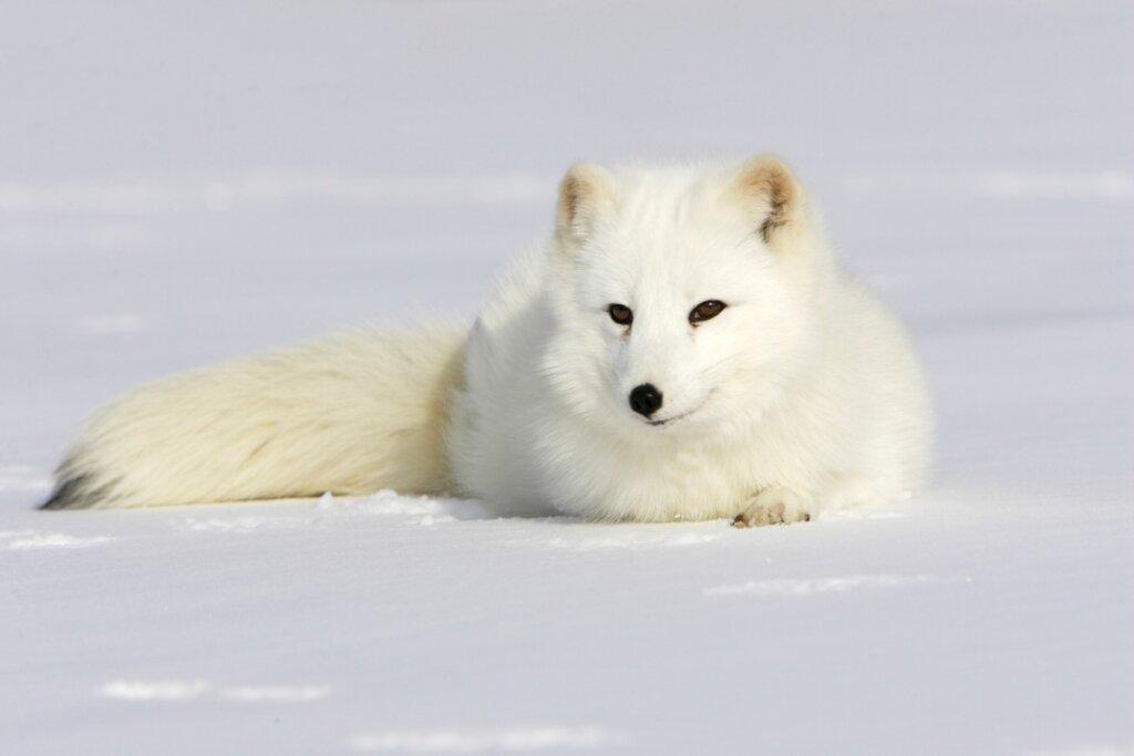 Perché la pelliccia della volpe artica cambia colore?