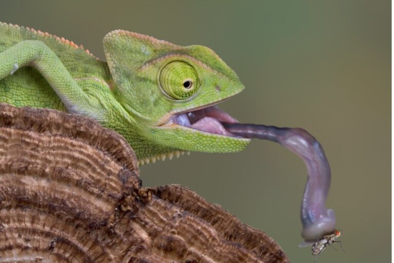 I camaleonti bevono acqua?