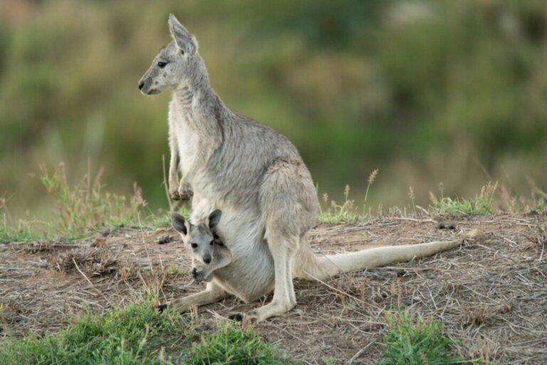Canguro grigio orientale: habitat e caratteristiche