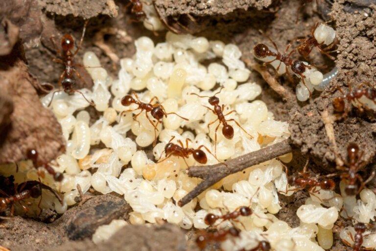 Come nascono le formiche?