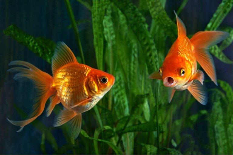 Perché il mio pesce rosso è aggressivo?