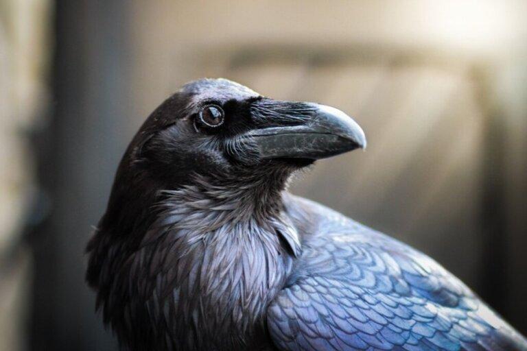 Corvo imperiale: habitat e caratteristiche