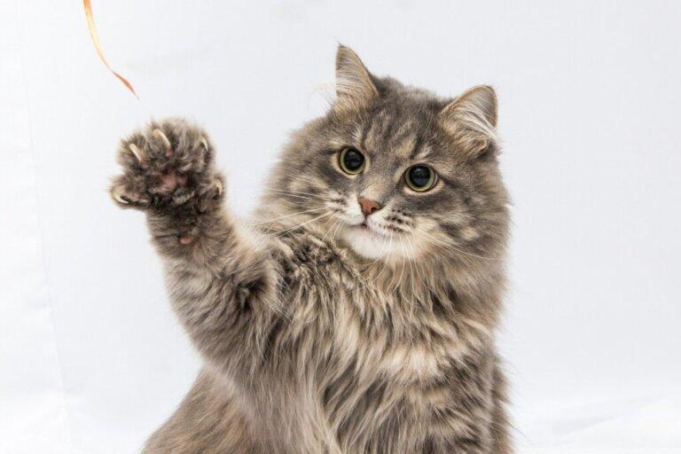 Pododermatite nei gatti: sintomi, cause e trattamento
