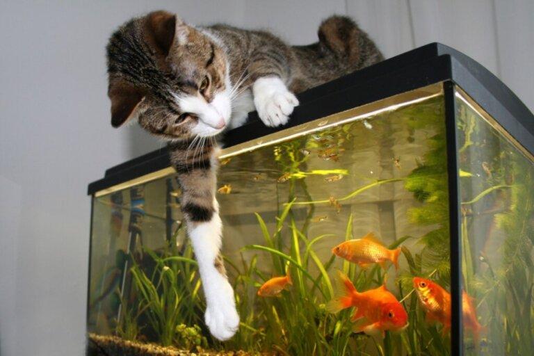 I gatti possono convivere con i pesci?