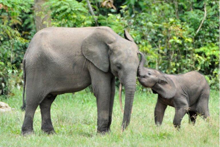 Quanto dura la gravidanza di un elefante?