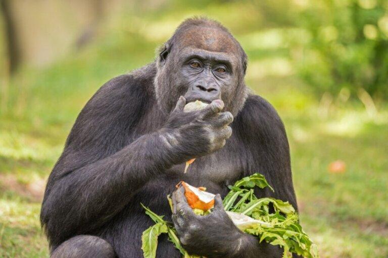 L'alimentazione del gorilla, il primate più grande del mondo