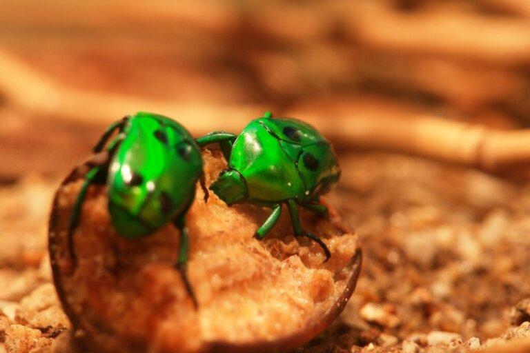 Cosa mangiano i coleotteri?