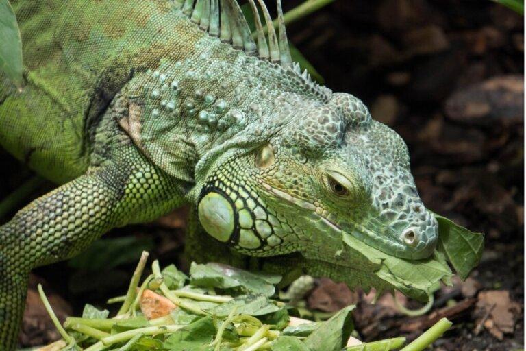 La mia iguana non mangia: perché?
