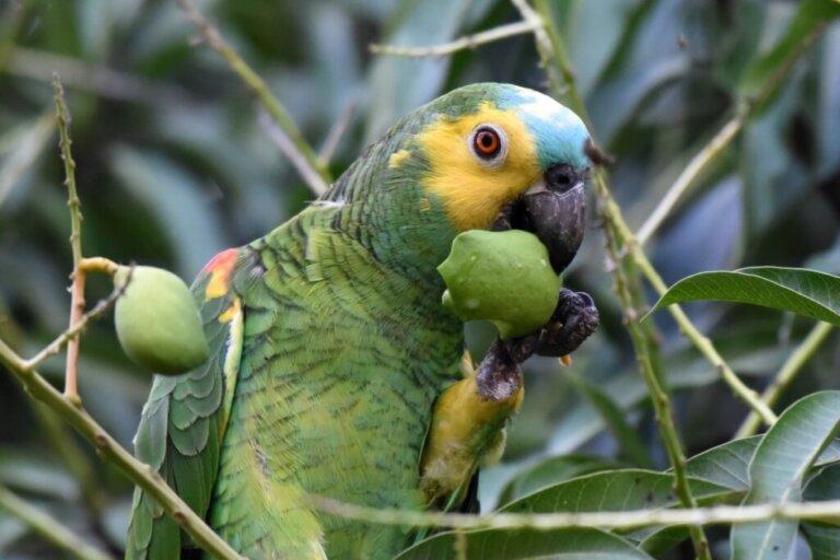 I pappagalli possono mangiare il pomodoro?