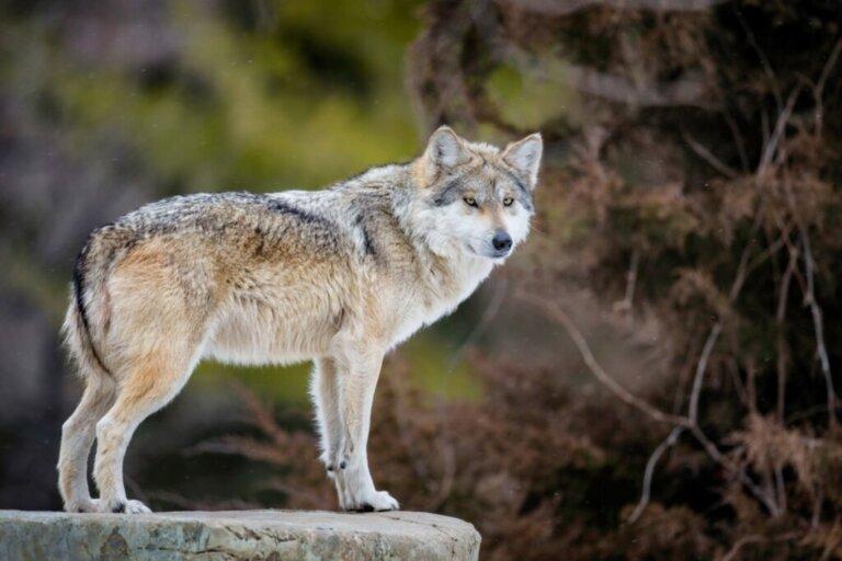 Perché il lupo messicano è in pericolo di estinzione?