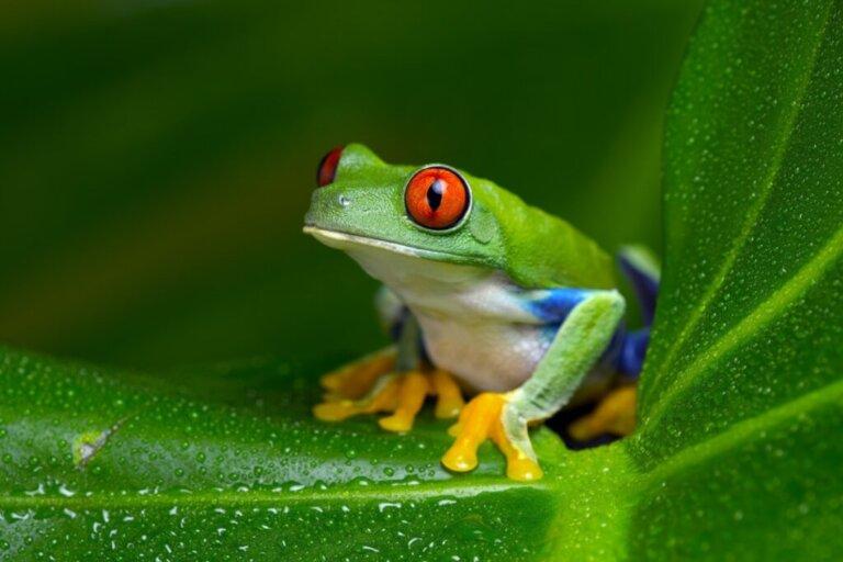 Raganella dagli occhi rossi: habitat e caratteristiche