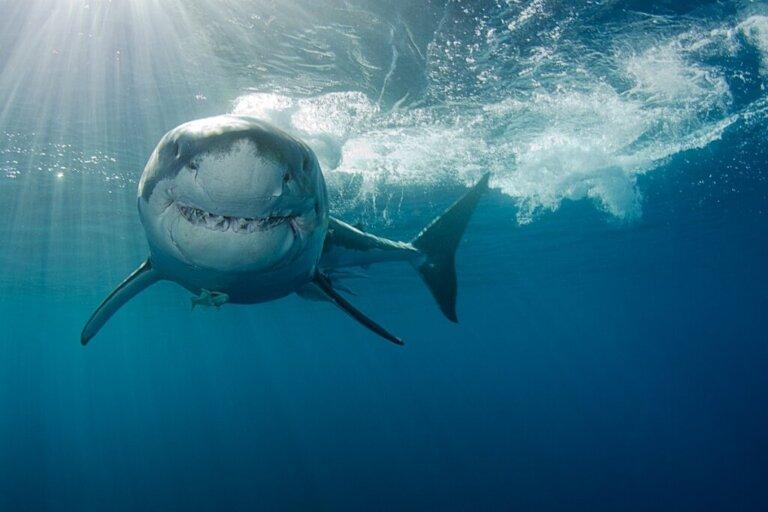 Come cacciano gli squali?